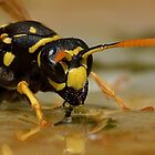 European Paper Wasp (Polistes dominula) - II by Peter Wiggerman