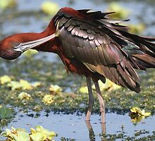 Glossy Ibis by jozi1