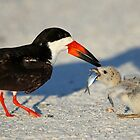 Black Skimmer 3:Successful transfer-Chick now has fish! by jozi1