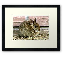 Florida Yard Bunny ~ a Wild Rabbit Framed Print