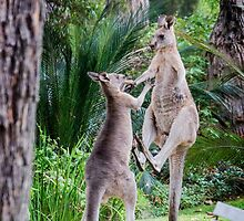 Male Kangaroos Fighting by pcbermagui