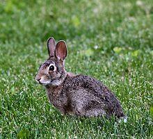 Mr. Bunny by Keala