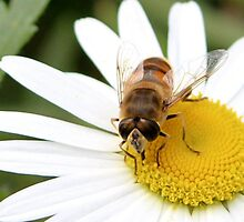 Hungry hoverfly by missmoneypenny