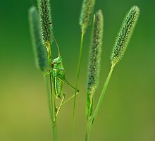 Grasshopper by JBlaminsky