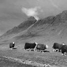 Herdwick sheep in Langdale by mikebov