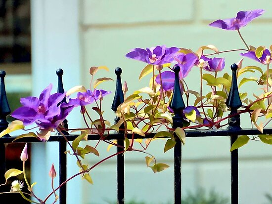 Purple fence adornment by lynn carter