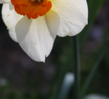 White Daffodil Sticker
