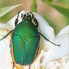 Scarab by Chet  King