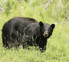 Black bear in a green field by Josef Pittner