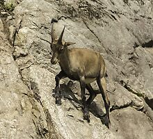 Ibex on a cliff by Josef Pittner