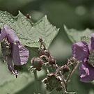 Rubus Odoratus by Carolyn Clark