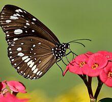 Butterfly Sipper by Ann  Van Breemen