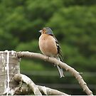 Chafinch by Joyce Knorz