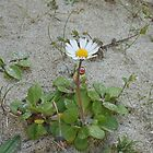 Tiny Daisy in the Sand - Bosta Beach by kathrynsgallery