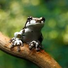 Amazon milk frog (Trachycephalus resinifictrix) by REPTILICIOUS