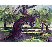 Bowing Oak (pastel) Photographic Print