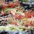 Even the mosses are dressed up for Fall... by Laura-Lise Wong