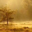 6.8.2014: Pine Tree, Summer Morning V by Petri Volanen