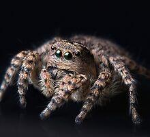"""Philosophy"" Adult Female Jumping Spider Asianellus festivus by Oleg Serkiz"