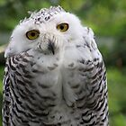 Female Snowy Owl by Jo Nijenhuis