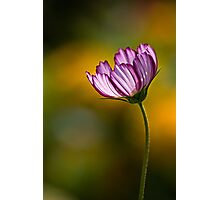 Cosmos on gold Photographic Print