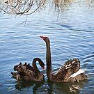 Black Swans by Maree Toogood