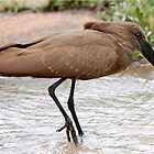 HAMMERHEAD - HAMERKOP - Scopus umbretta  by Magaret Meintjes