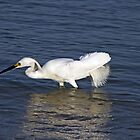 Snowy Egret by phil decocco