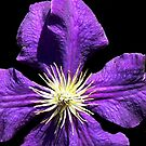 Regal Purple Clematis by Rosemary Sobiera
