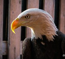 Piper the Bald Eagle by InRC
