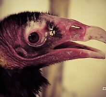 Turkey Vulture by InRC