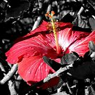 Hibiscus in the Shadows by Rosemary Sobiera