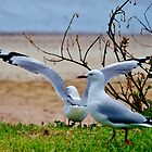 Gulls at Te Ngaire by lezvee