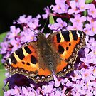 Small Tortoiseshell butterfly by Rivendell7