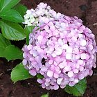Last Summer's Hydrangeas by Maree  Clarkson