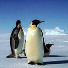 Emperor penguins by Morag Anderson