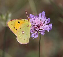 Clouded Yellow Butterfly by hummingbirds