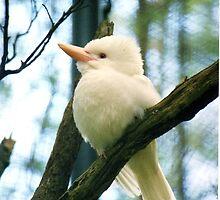 Albino Kookaburra by Kristina K