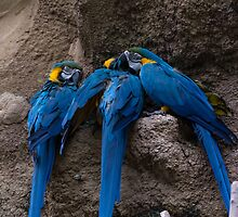 Triple Parrot Play by AhArtography