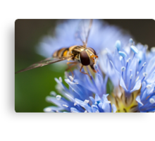 hoverfly on blue flower Canvas Print