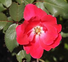 Red Knockout Rose by Linda  Makiej Photography