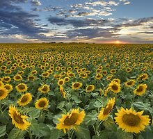 Texas Wildflower Images - Sunflower Field at Sunset by RobGreebonPhoto