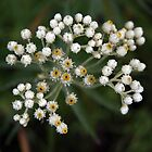 Pearly Everlasting by Linda  Makiej Photography