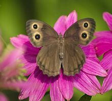 Pretty Butterfly on Pink Flowers by Christina Rollo