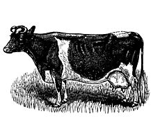 Vintage Cow on grass.  Woodcut Style by cartoon