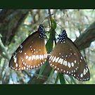 butterfly lovers ...  by Helen Corr
