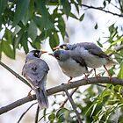 Noisy Minor Chicks Begging by pcbermagui