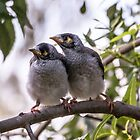 Noisy Minor Chicks Wait For a Feed by pcbermagui