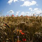 Coquelicots by SandrineBoutry