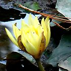 Yellow Water Lily by Chris Gudger